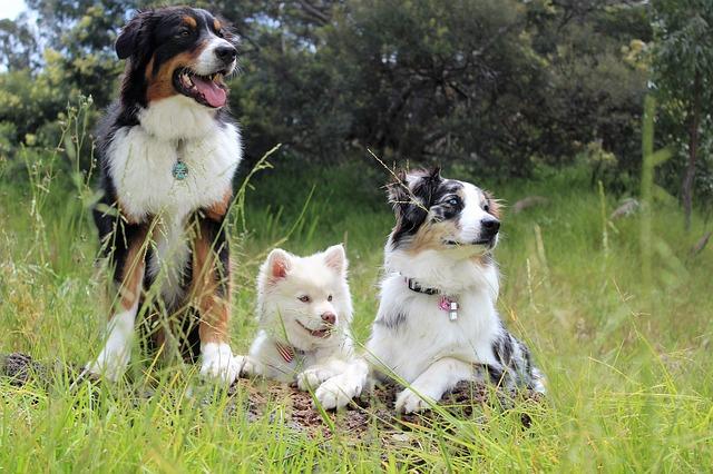 Pozytywne działanie alfa-kazozepiny u psów oraz kotów
